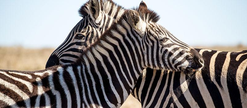 Botlierskop Zebras