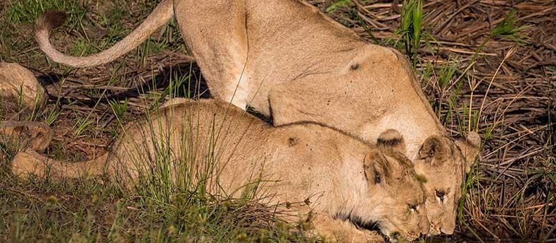 Botlierskop Lions